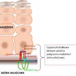 Epidermolysis bullosa - białka łączące naskórek i skórę właściwą